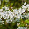 Crataegus monogyna blossom