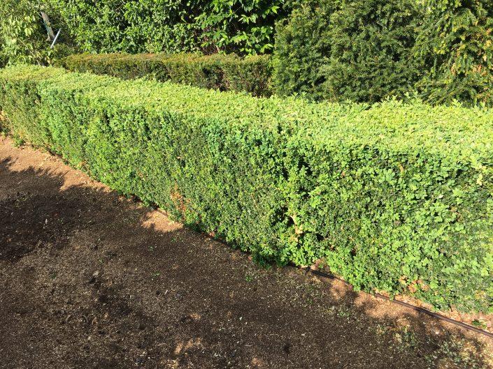 Elveden Instant Box Hedge