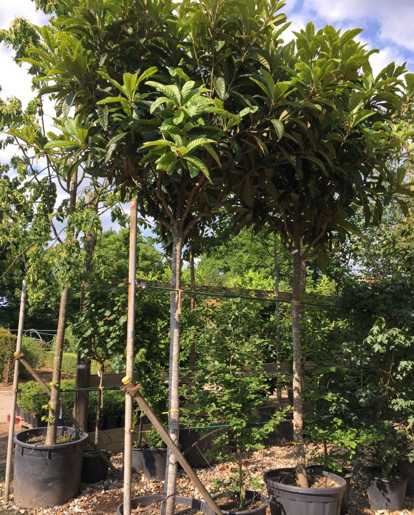 Buying A Mature Tree