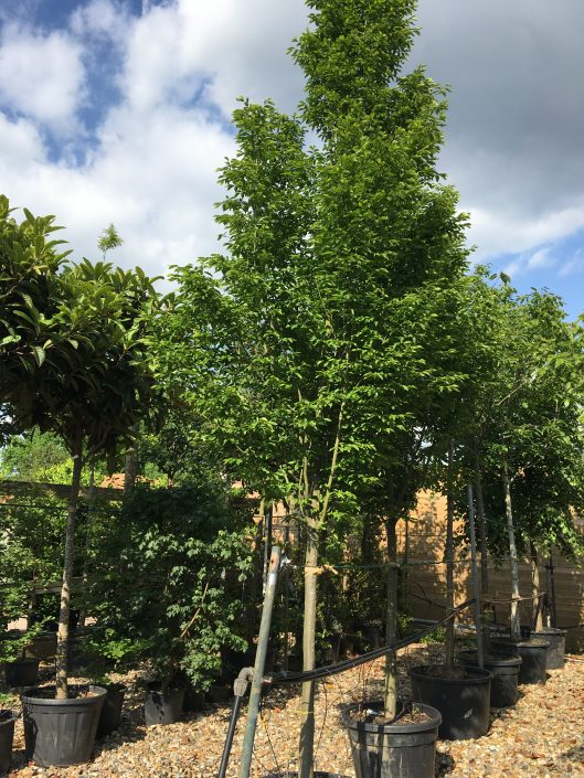 Carpinus betulus Fastigiate Hornbeam up to 6.5m