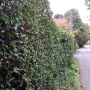 Holly & hornbeam mature hedge