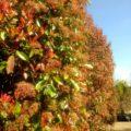 Feathered screening tree Photinia Red Robin