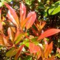 Red leaf Photinia
