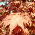Japanese Maple leaf detail