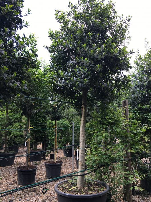 Ilex Limsii Holly Specimens up to 5m