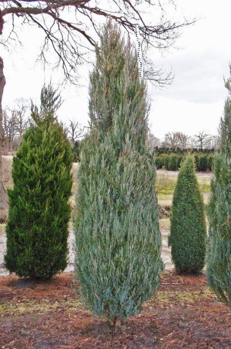 Juniperus virginiana 'Skyrocket'