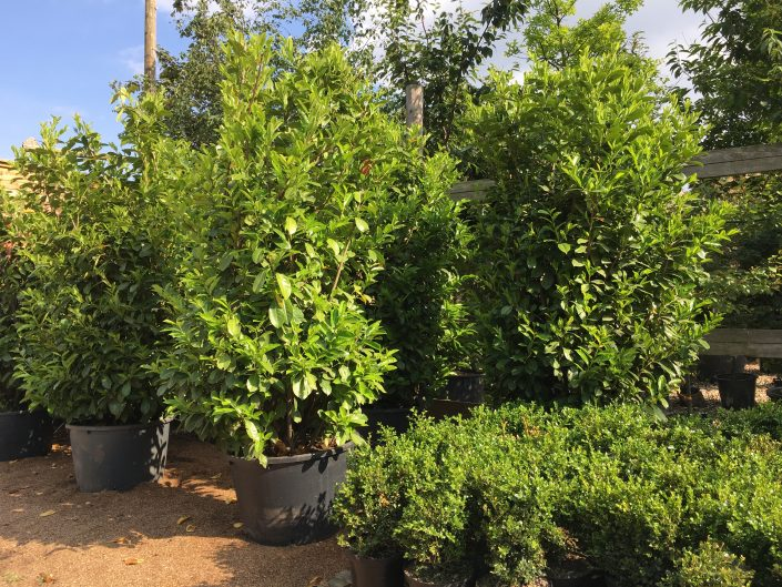 Prunus laurocerasus Laurels