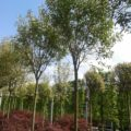 Japanese Privet Screening tree