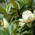 Magnolia grandiflora in bloom