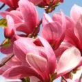 Saucer magnolia flowers
