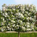 Flowering crab apple tree pleached