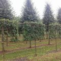 pleached crab apple Red Sentinel