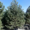 Scots Pine feathered