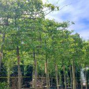 Quercus palustris Specimen tree