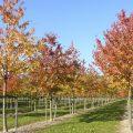 Prunus avium Plena autumn