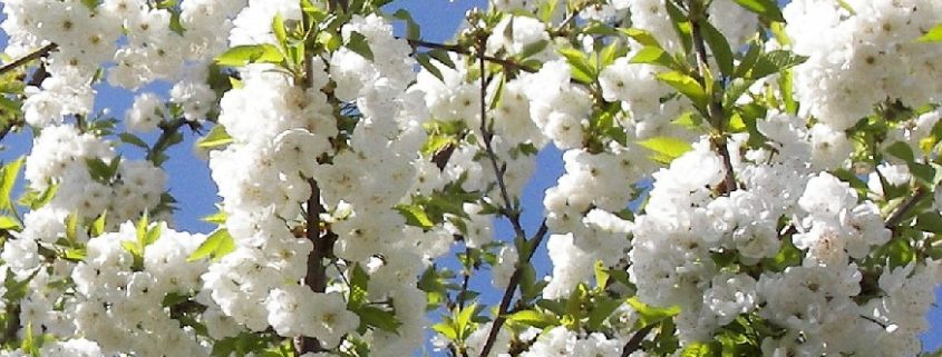 Prunus avium plena blossom