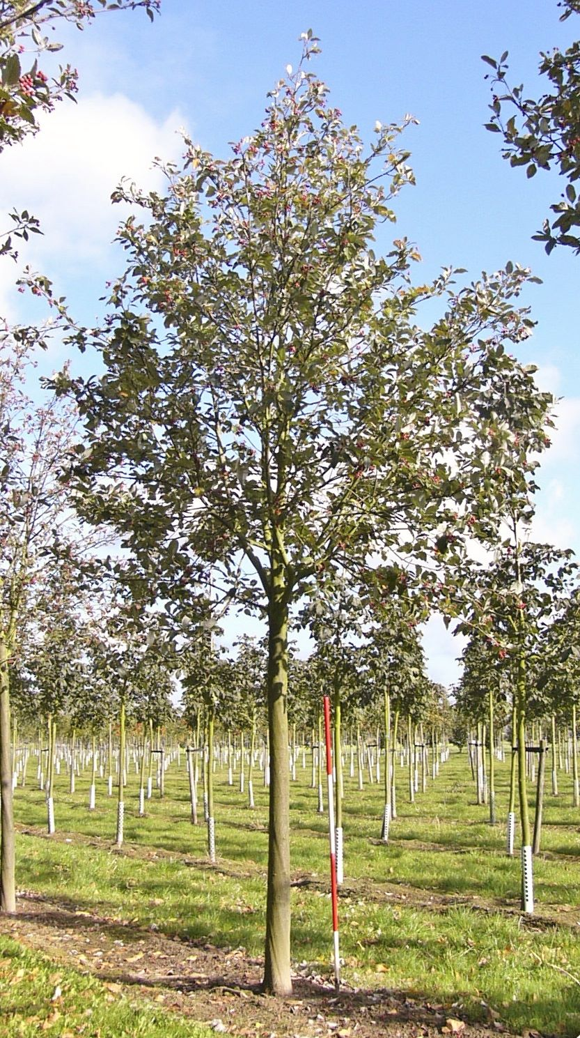 Sorbus Aria Magnifica Whitebeam Practicality Brown