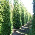 Thuja plicata western red cedar