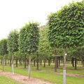 Broad leafed lime pleached