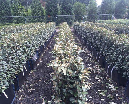 Elaeagnus ebbingei Practical Instant Hedge