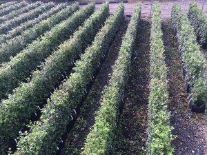 Quercus ilex Practical Instant Hedge