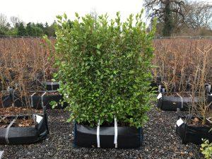 Griselinia littoralis Practical Instant Hedge