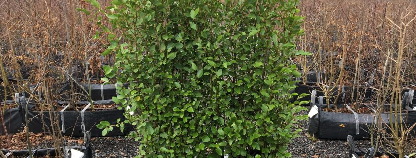 Easy to plant Instant Hedge
