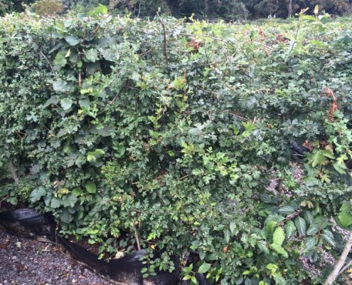 Native Mix hedging