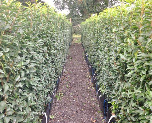 Prunus lusitanica Practical Instant Hedge
