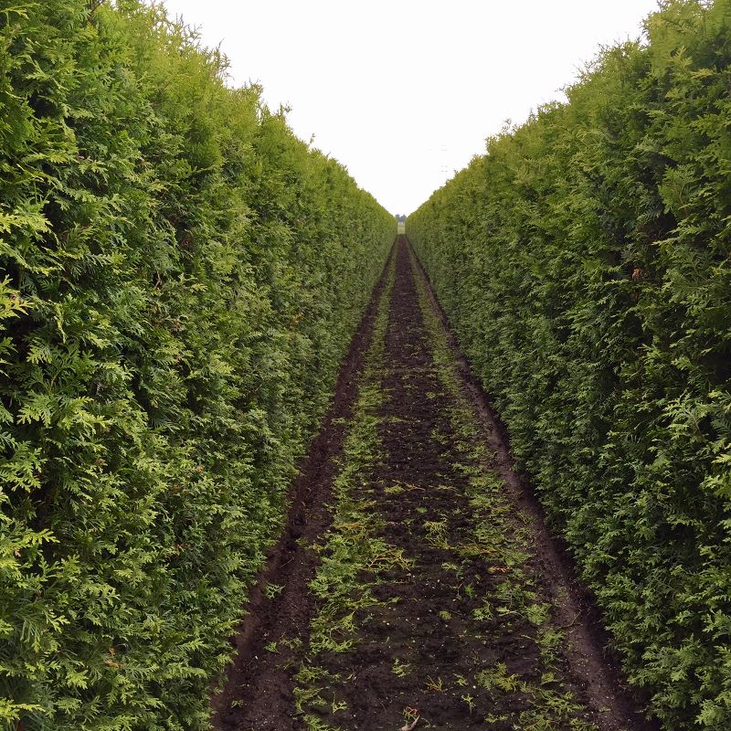 instant hedge from other growers supplied by practicality. Black Bedroom Furniture Sets. Home Design Ideas