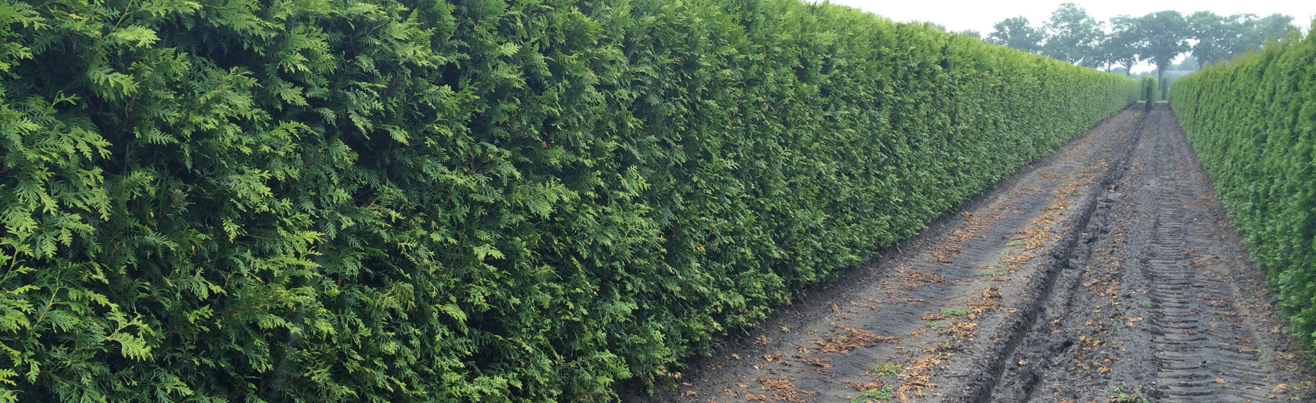 Thuja occidentalis Brabant 2m high
