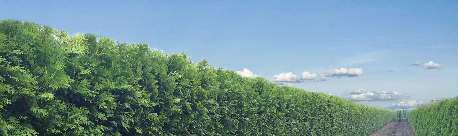 Thuja occidentalis Brabant 2m high