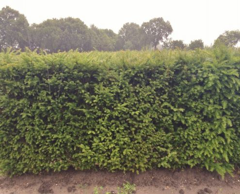 Yew hedging 1.5m high