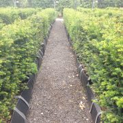 Yew Practical Instant Hedge
