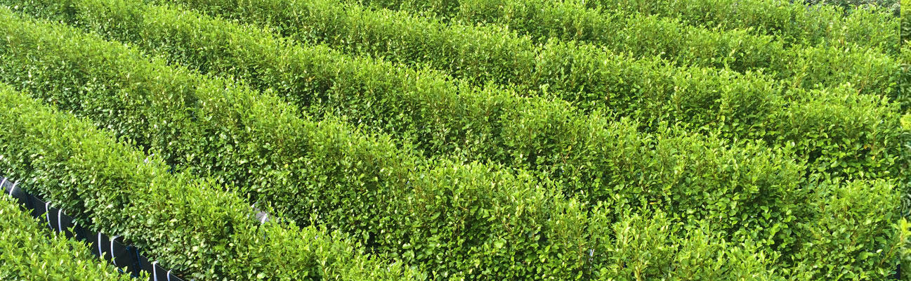 griselinia-instant-hedge-banner