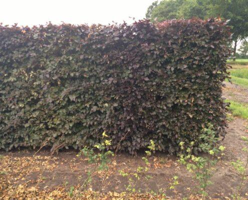 Purple Beech hedging