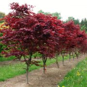 Top 10 trees for small gardens from practicality brown for Top 10 trees for small gardens