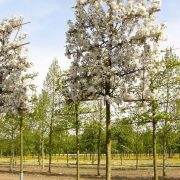 Malus Evereste Pleached
