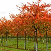 Prunus serrulata Shirofugen Autumn