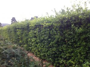 Holm Oak Instant Hedge