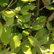 Quercus ilex evergreen instant hedge