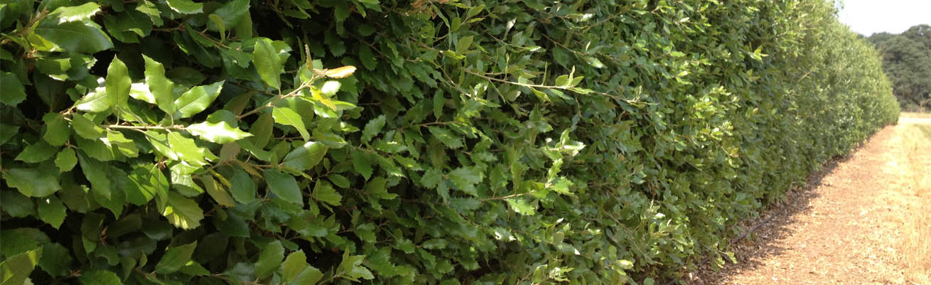 Holm-Oak-Header