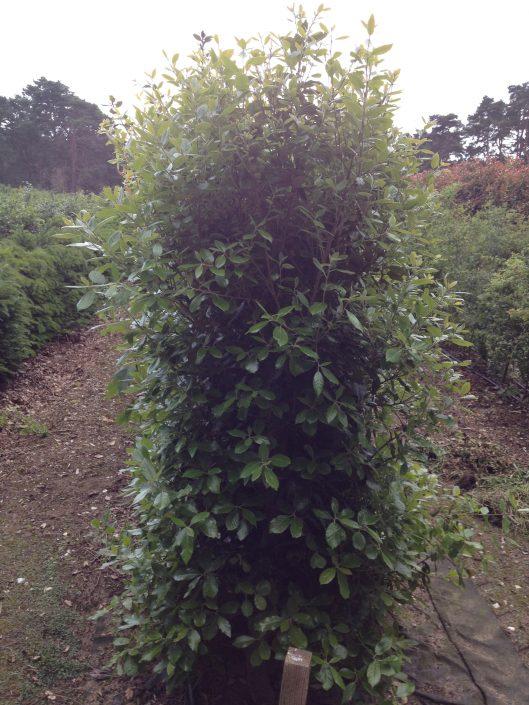 Quercus ilex instant hedge