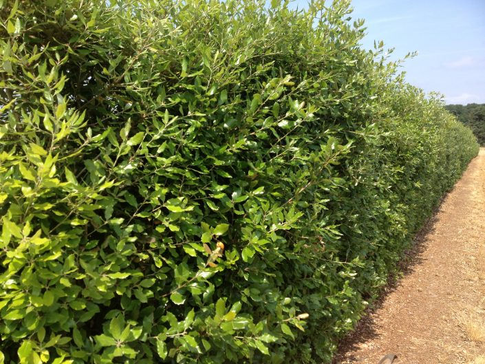 Holm Oak mature instant hedge