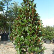 Magnolia Bull Bay
