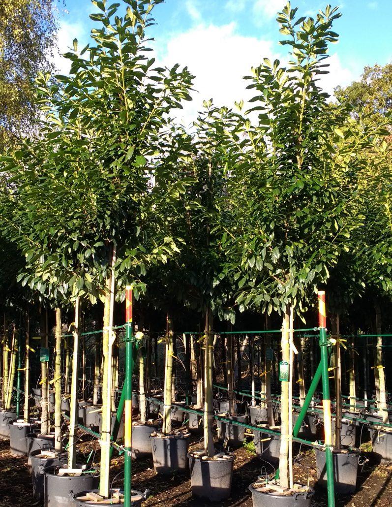 Prunus Laurocerasus Practicality Brown