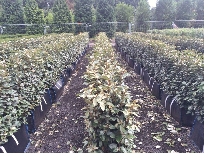 Oleaster mature instant hedge
