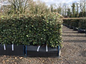 Elaeagnus Instant Hedge