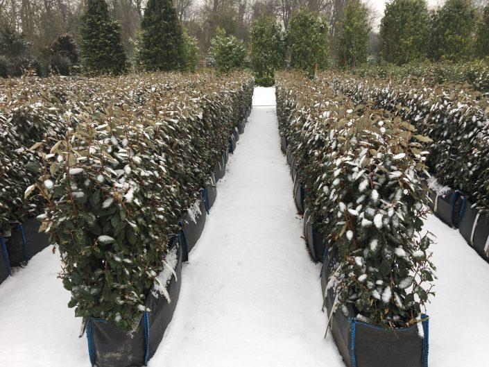 Elaeagnus Instant Hedge in the snow