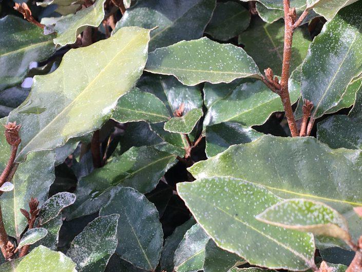 Elaeagnus Instant Hedge leaf detail
